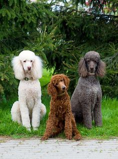 three poodles
