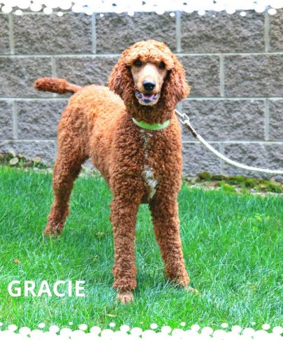 Gracie (the mother of all the dogs at Gold Star Family Poodles)