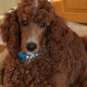 dog with saggy ears