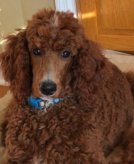 Picture of sitting brown Poodle.