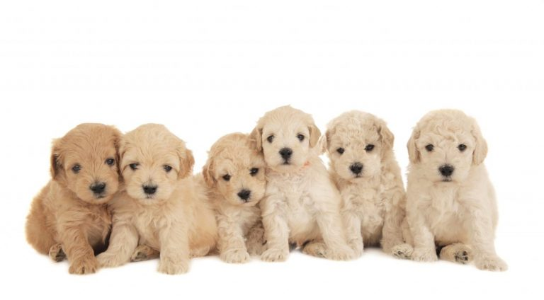 six goldendoodles in a line