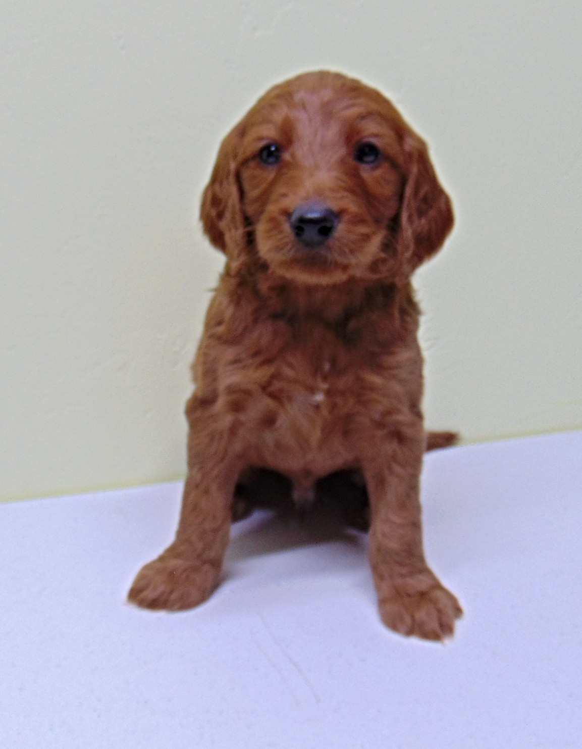 front view of o goldendoodle