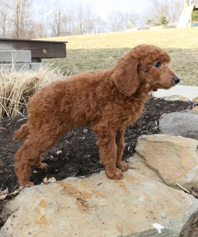 a poodle standing on a rock