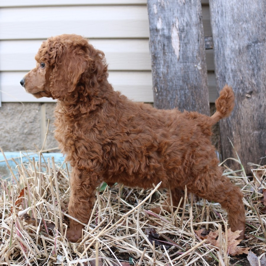 poodle standing next to a fence
