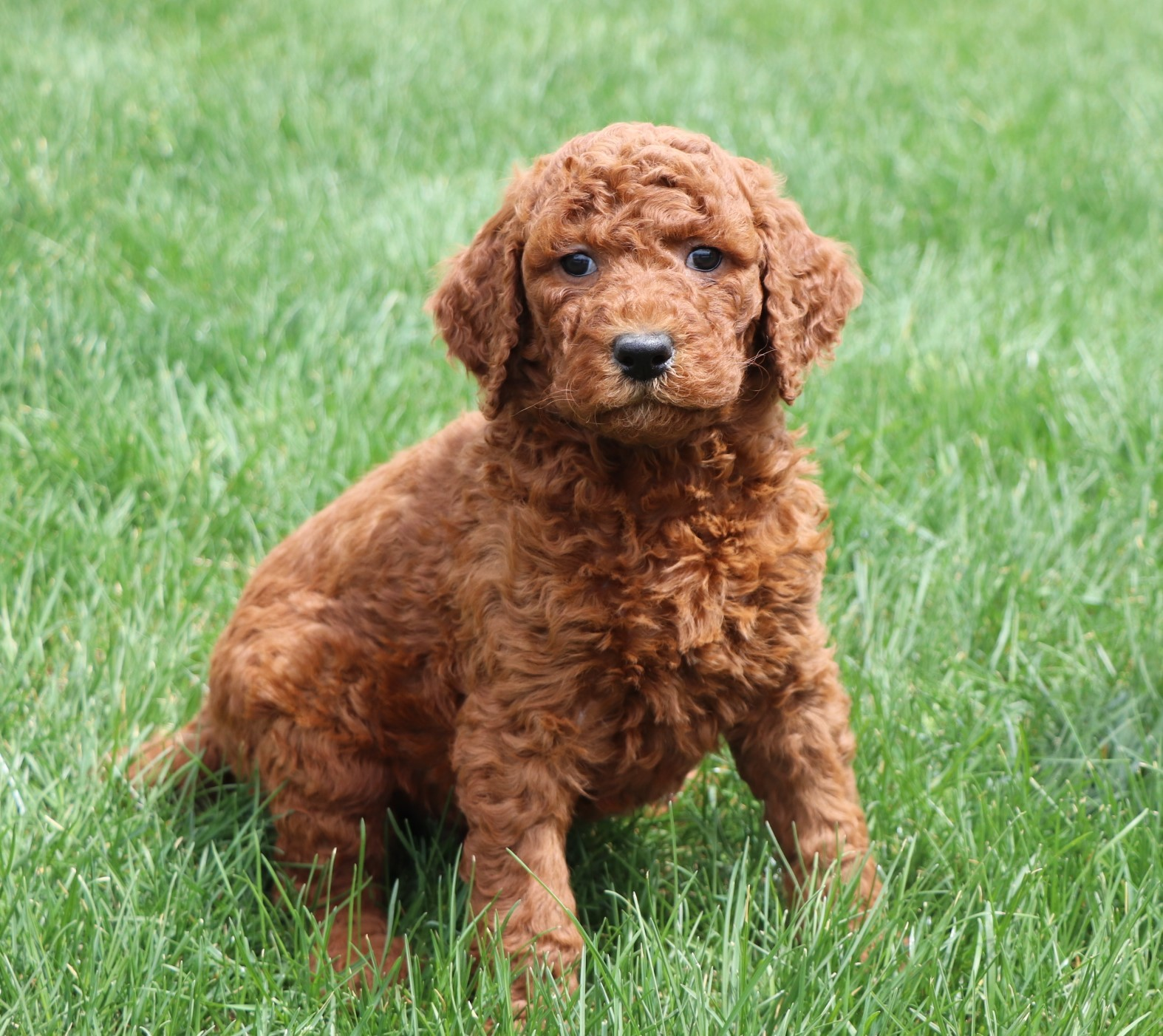 a brown poodle