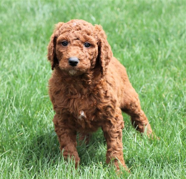 poodle standing on grass