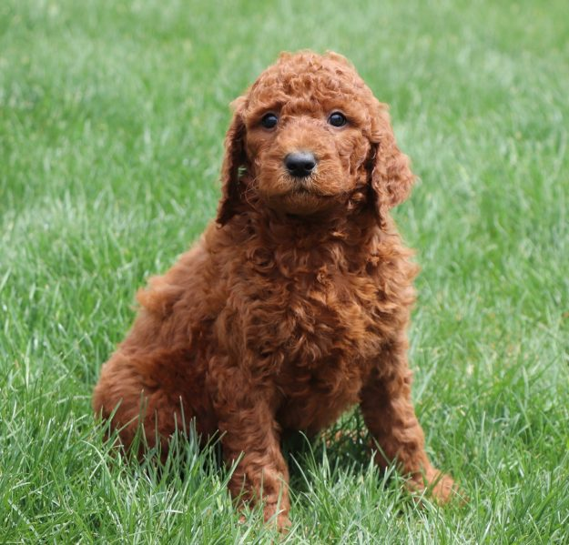 a curly haired poodle
