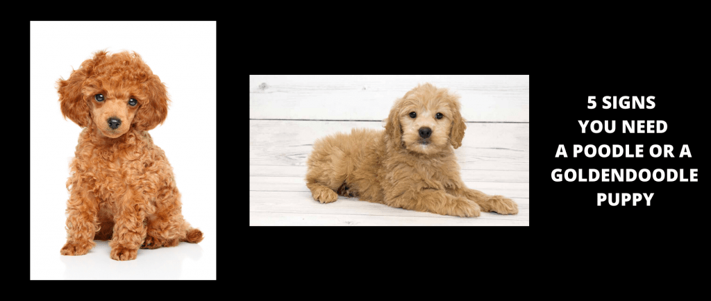 5 Signs you need a poodle or Goldendoodle puppy 1