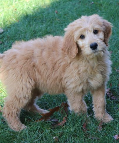 Goldendoodles Archives Gold Star Family Poodles